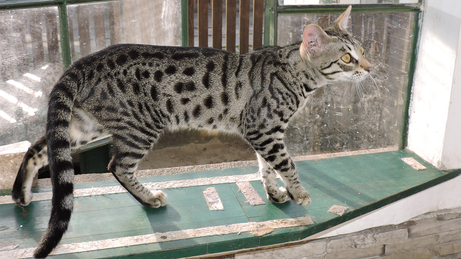 Exotic or Exploited? The Controversial Savannah Cat