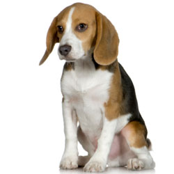 Family beagle dogs wallpapers and images - wallpapers ...
