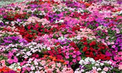 5 Impatiens Top 10 Low Light Plants Howstuffworks