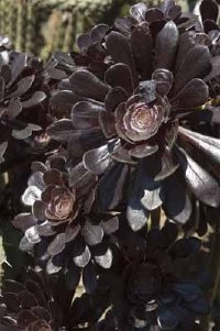 Aeonium is a type of cactus.