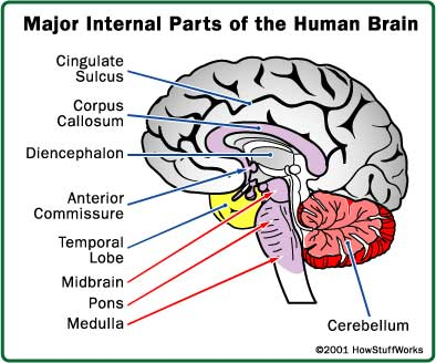 Brain Function And Alien Hand Brain Function Howstuffworks