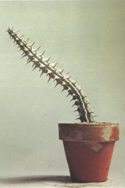 The Alluaudia procera cactus can grow quite tall and is covered with sharp thorns.