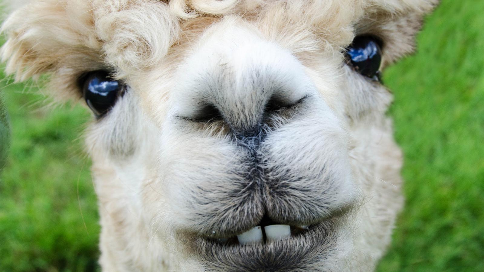 03a7680876da Alpacas Are Totally Not Llamas | HowStuffWorks