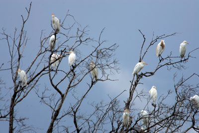 Snowy Egrets in the Florida Everglades.