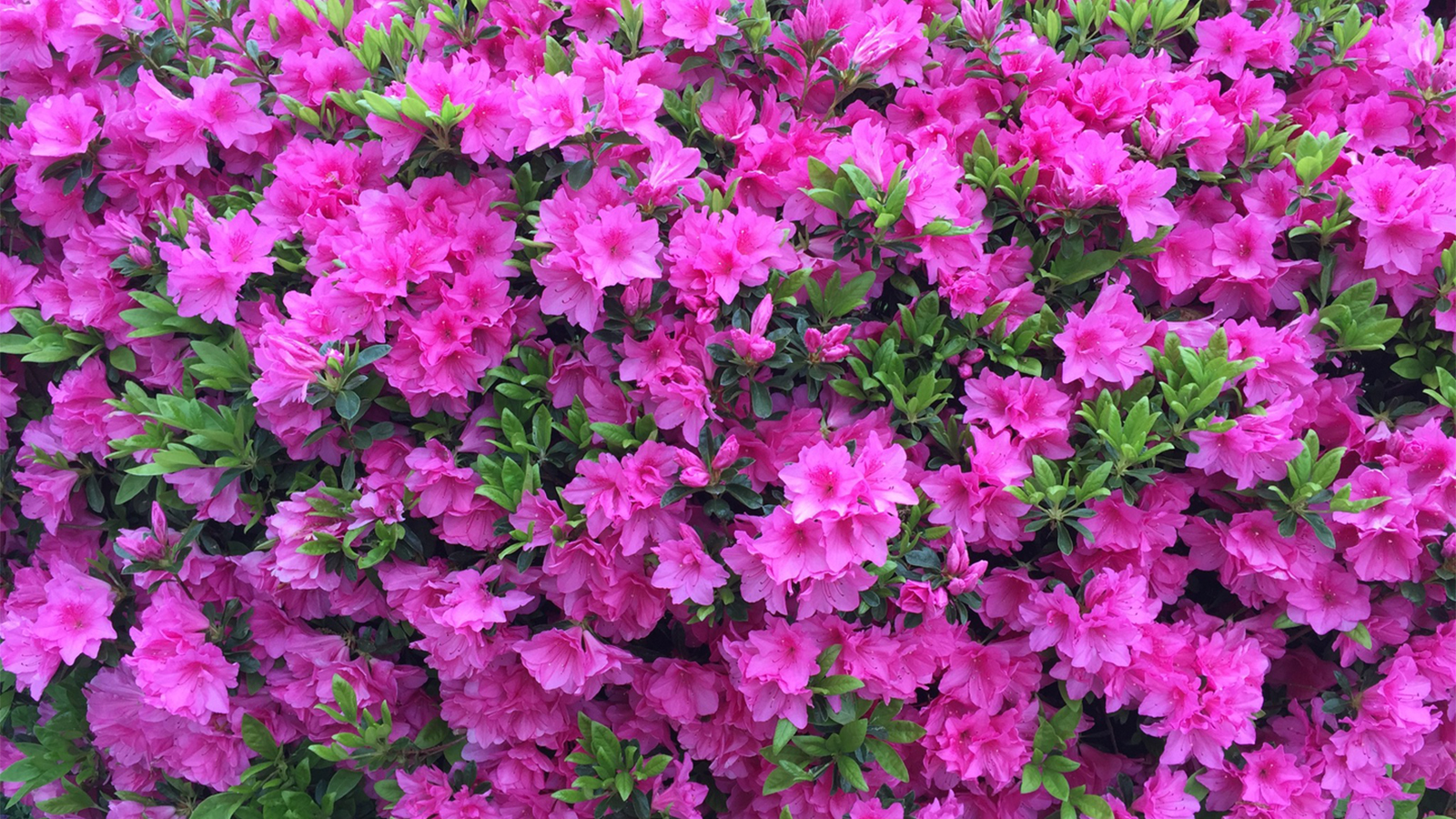 How Azaleas Became the Signature Flowers of the South