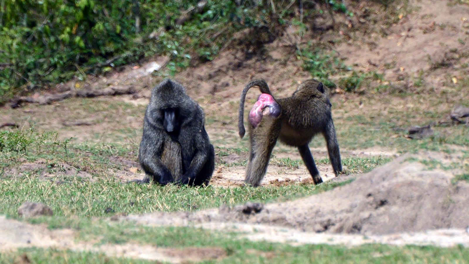 Baboons: The Monkeys With the Scarlet Booties | HowStuffWorks