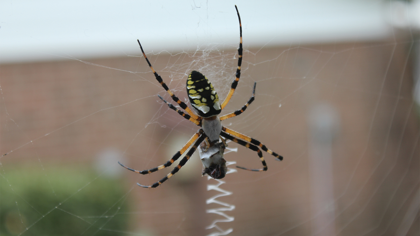 Will The Real Banana Spider Please Stand Up Howstuffworks