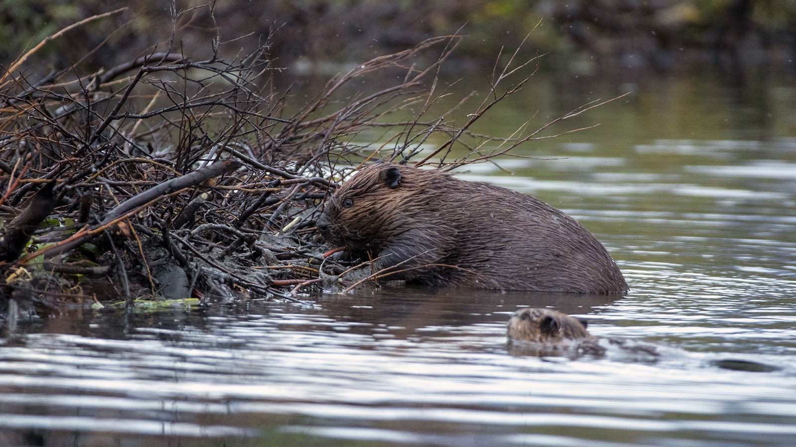 The Unusual Connection Between Beavers, Permafrost and Climate Change