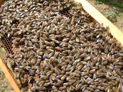 How Bees Work   HowStuffWorks