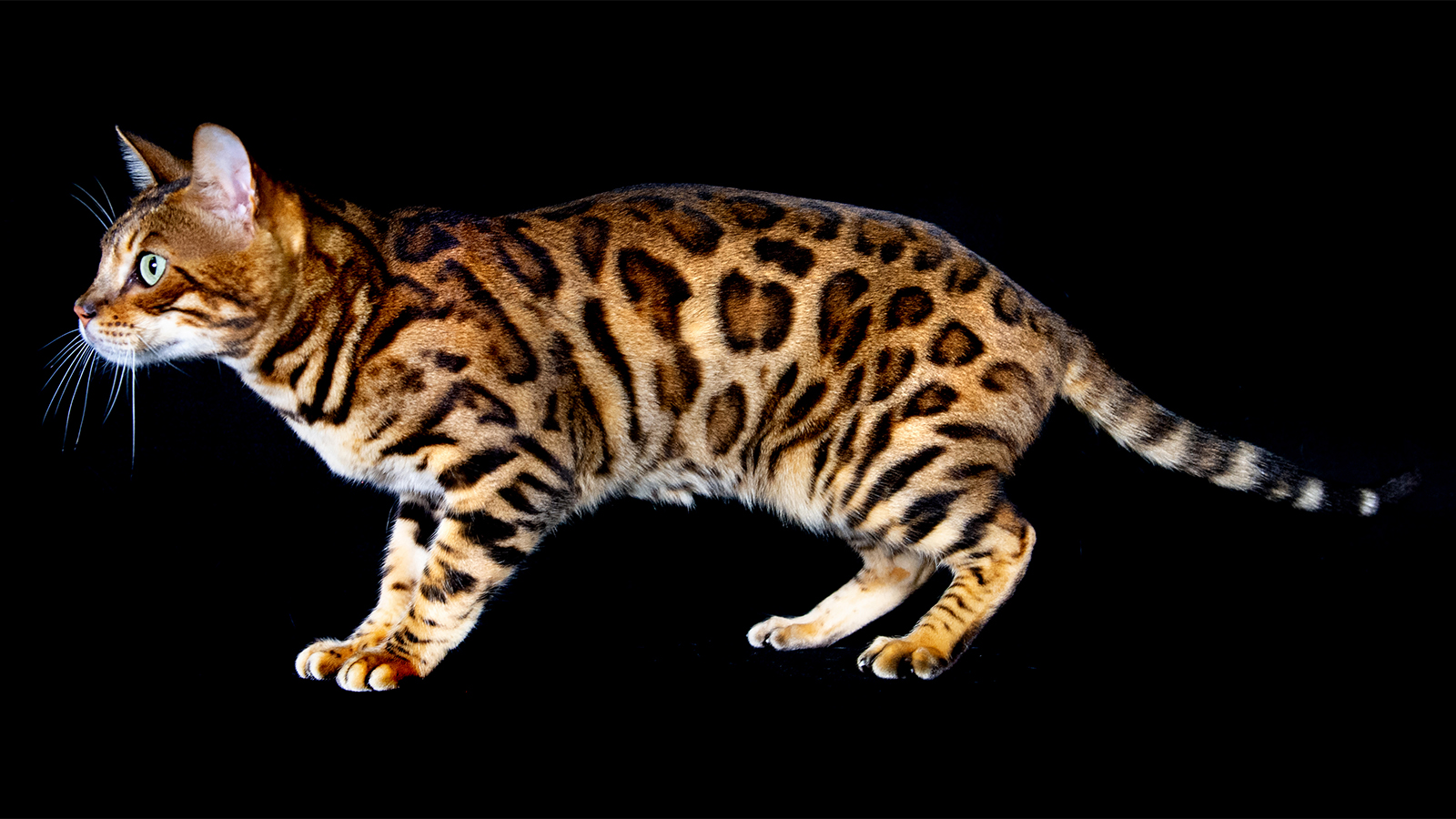 Bengal Cats Are Mini Leopard Hybrid Housecats