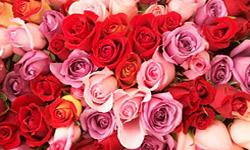 1 Rose 10 Best Smelling Flowers Howstuffworks