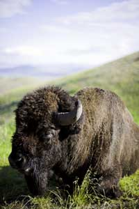 What brought bison back from the brink of extinction