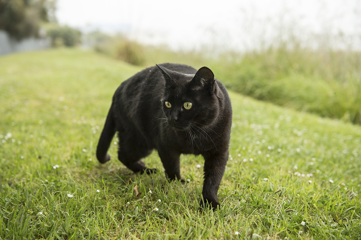 Why Are Black Cats Considered Unlucky Howstuffworks