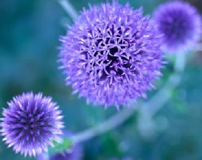 Blue To Purple Perennial Flowers Howstuffworks
