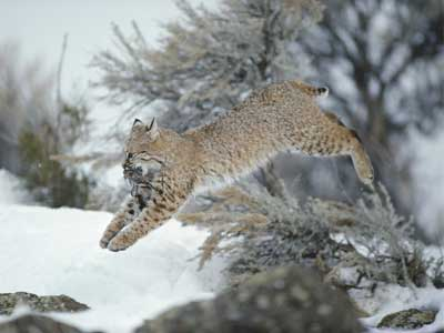 What's the difference between a bobcat and a lynx? | HowStuffWorks