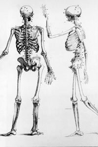 A diagram showing back and side views of the human skeleton, circa 1900