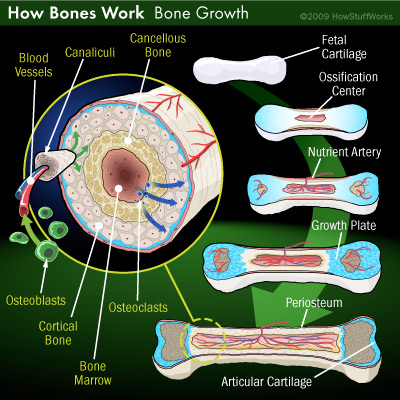 Human bone growth