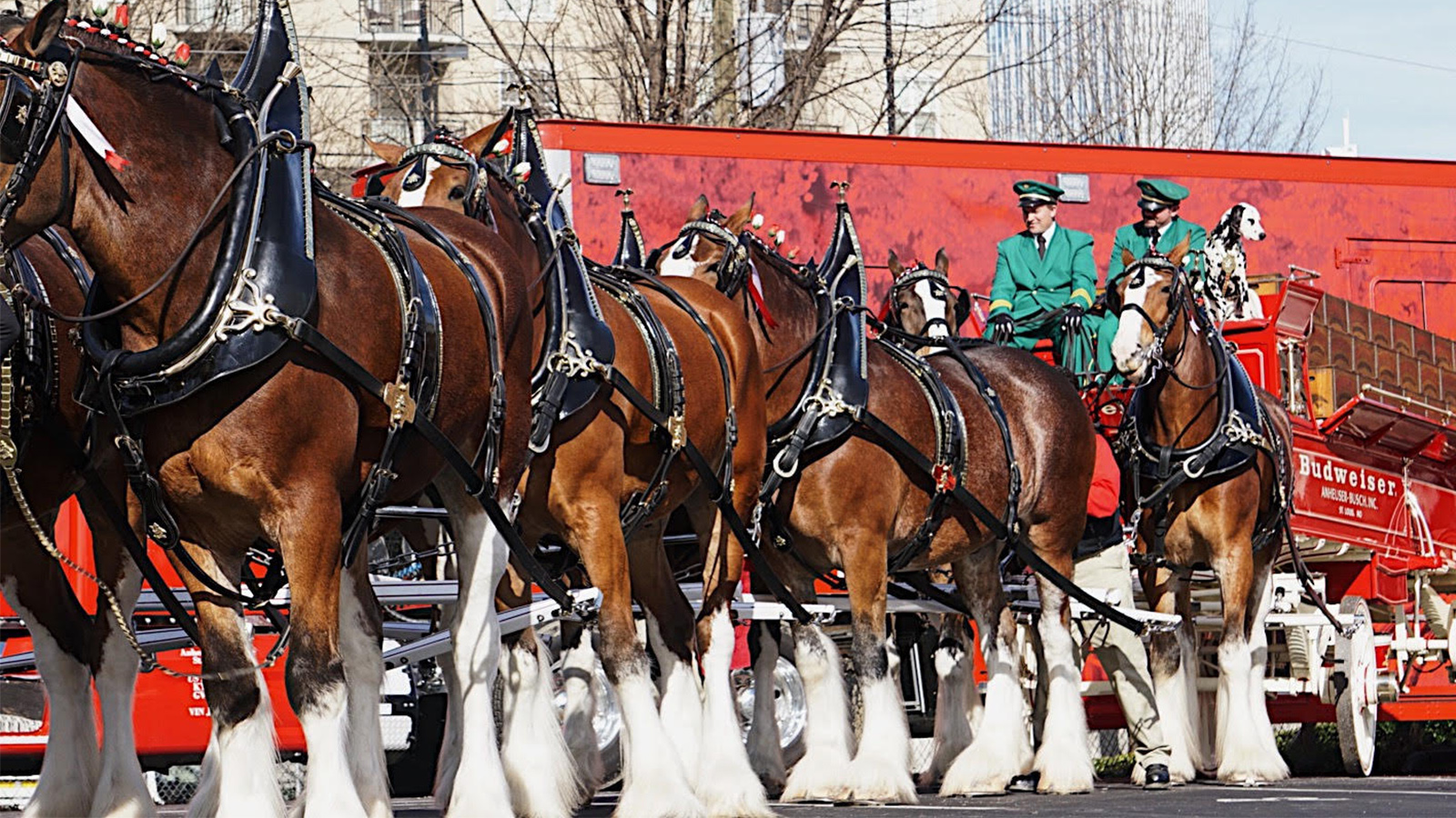 Budweiser S Clydesdales How These Gentle Giants Came To Symbolize A Brand Howstuffworks