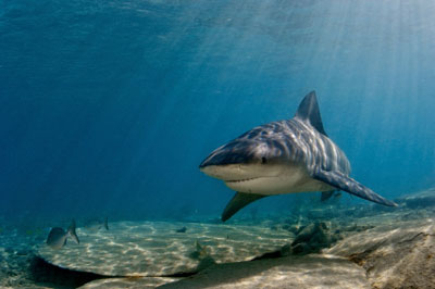 a bull shark cruises the warm waters of the bahamas  see more shark  pictures