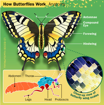 Butterfly Anatomy: Wings and Scales - Butterfly Anatomy