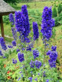 Delphinium is an annual of both great beauty and height.