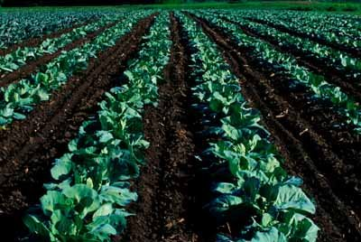 rows of cabbage crops