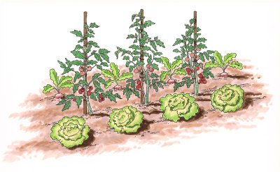 Illustration of row of cabbage