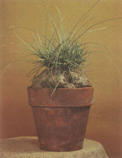 Calibanus hookerii cactus is a tough plant that can stay in the same pot for a number of years.