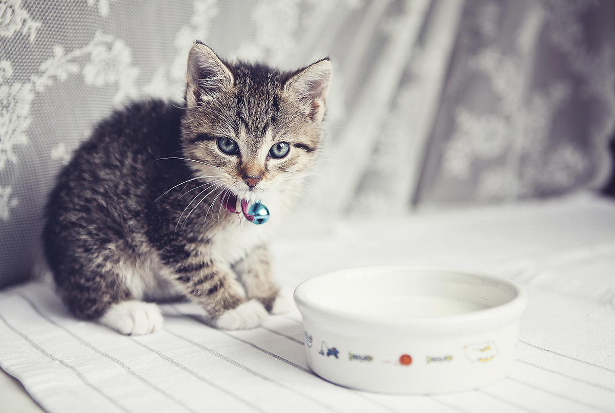 Is It Ok For Cats To Drink Milk Howstuffworks