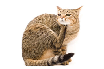 Home Remedies for Cats with Fleas | HowStuffWorks