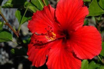 Chinese Hibiscus Hawaiian Hibiscus Rose Of Chinaannual Flower