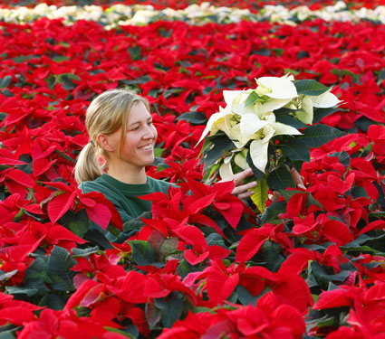What Does The Poinsettia Have To Do With Christmas Howstuffworks
