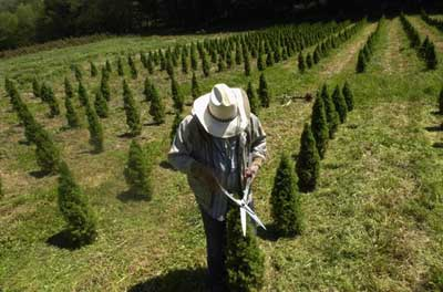 How Long Does It Take To Grow A Christmas Tree.Growing The Perfect Tree How Christmas Trees Work