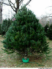 How To Take Care Of A Real Christmas Tree.Taking Care Of Your Tree Howstuffworks