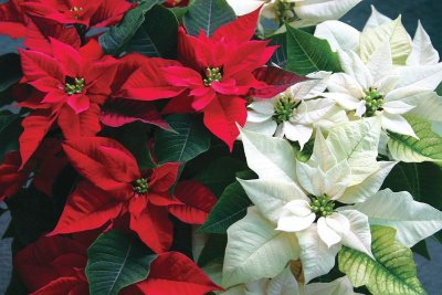 Test your Christmas tree trivia knowledge: Poinsettias originated in Mexico, where it is known as