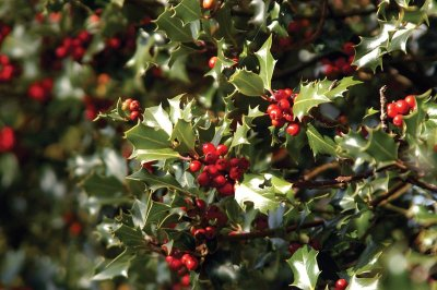 Increase your Christmas tree trivia knowledge with this fact: The most well known holly is American holly.