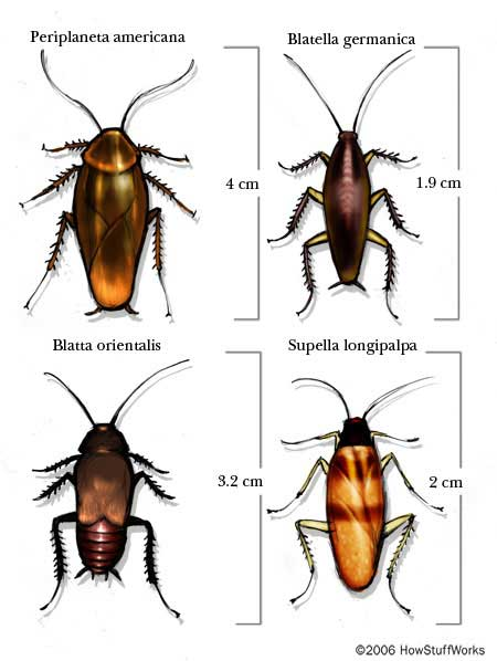 Cockroach Anatomy and Physiology | HowStuffWorks