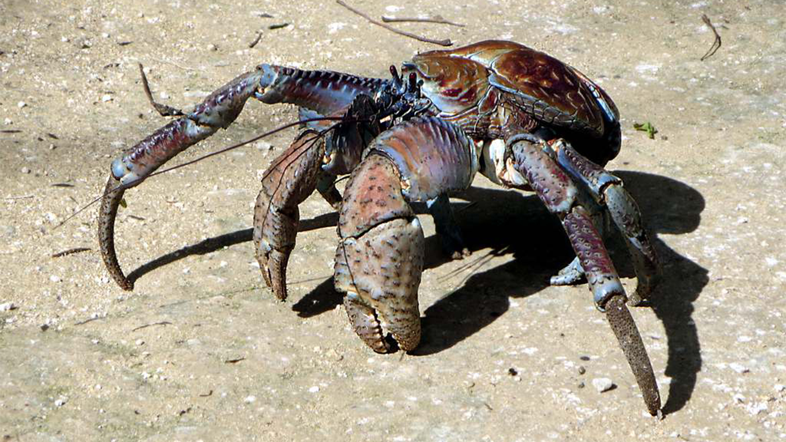 Coconut Crabs: Crustaceans on Steroids