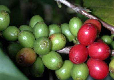Red Cherry To Green Bean How Coffee Works Howstuffworks