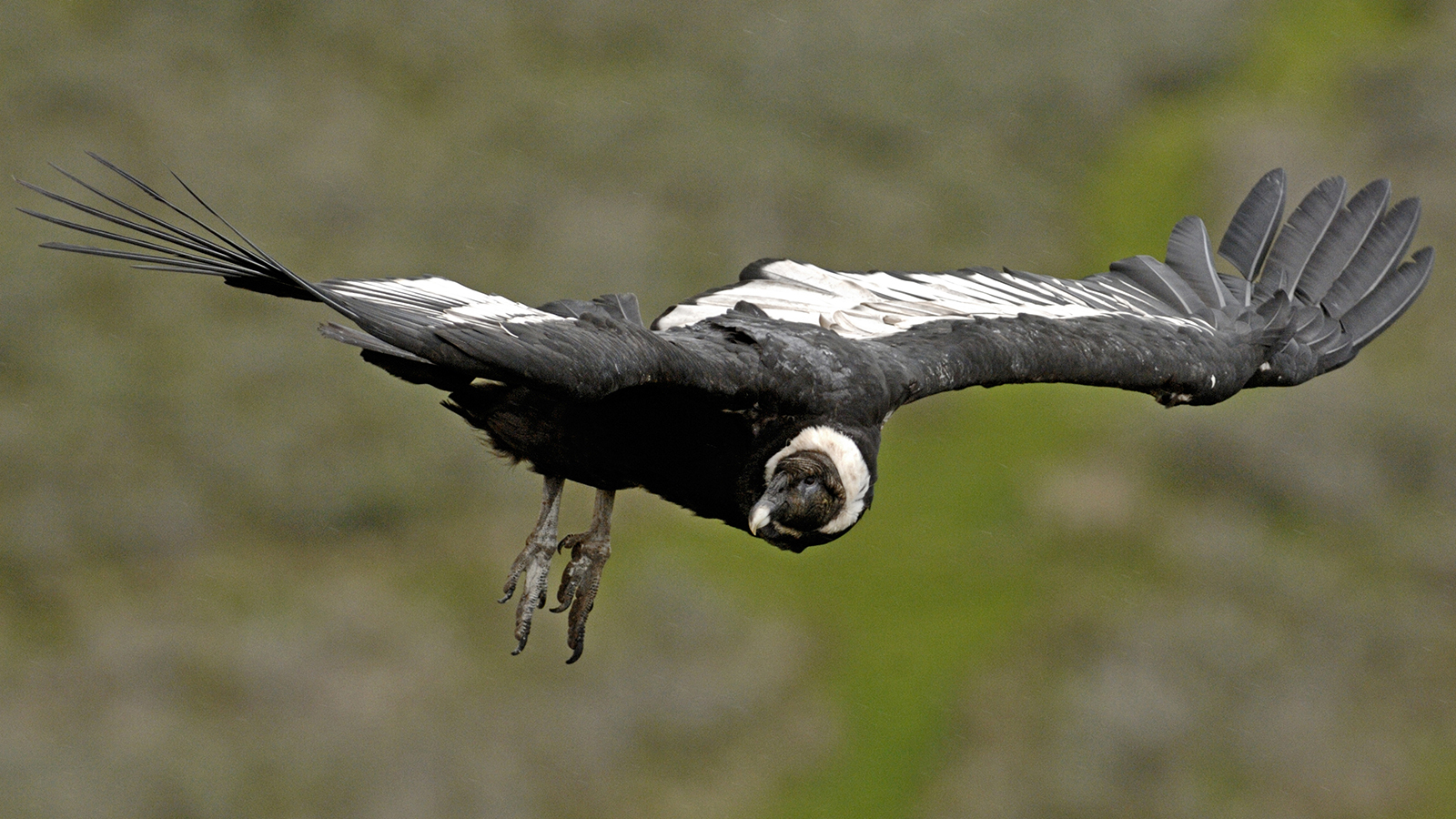 The Andean Condor 100 Miles 5 Hours 0 Flaps Of Its Wings Howstuffworks