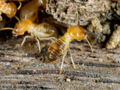 How Can Copper Keep Termites At Bay Howstuffworks