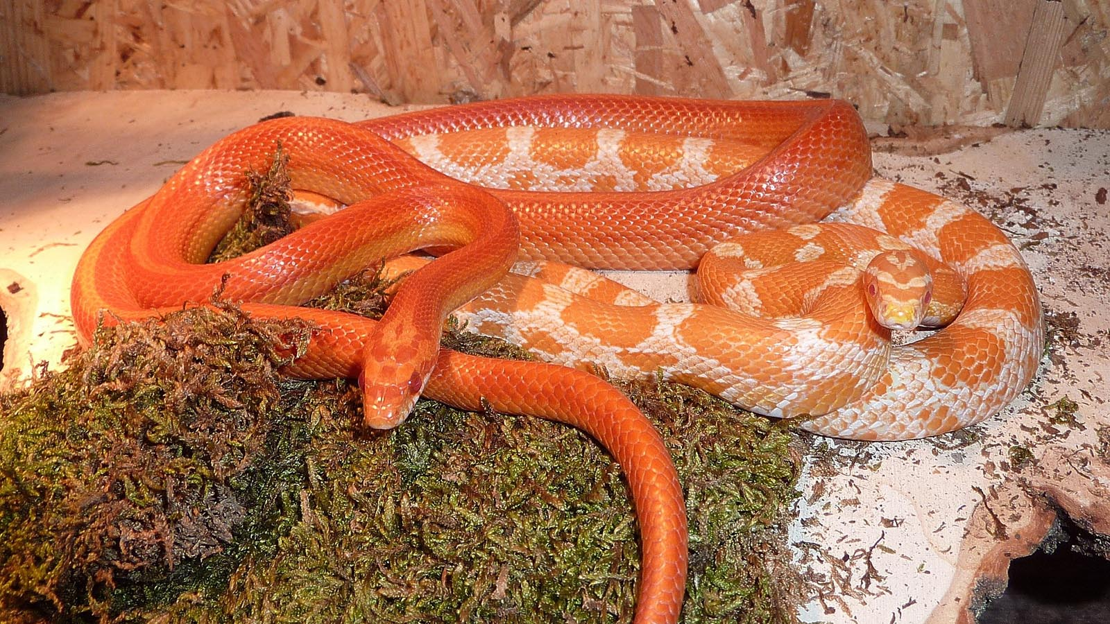 Corn Snakes Are Perfect Pets For Reptile Enthusiasts Howstuffworks