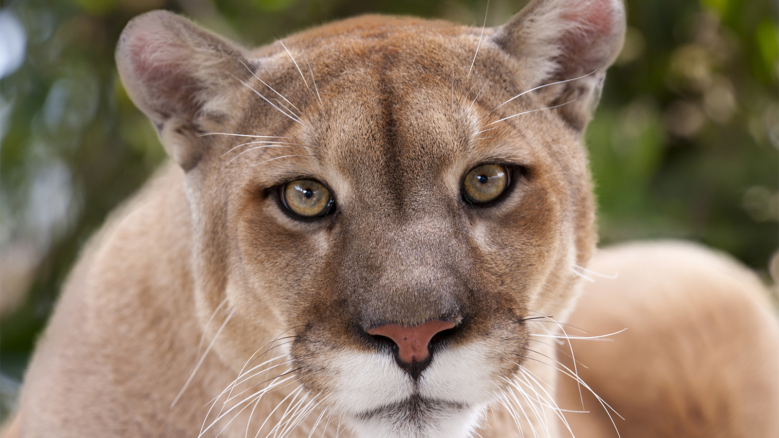 Cougar means what Cougar