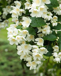 4: Jasmine - 10 Creeping Vines that Provide Privacy