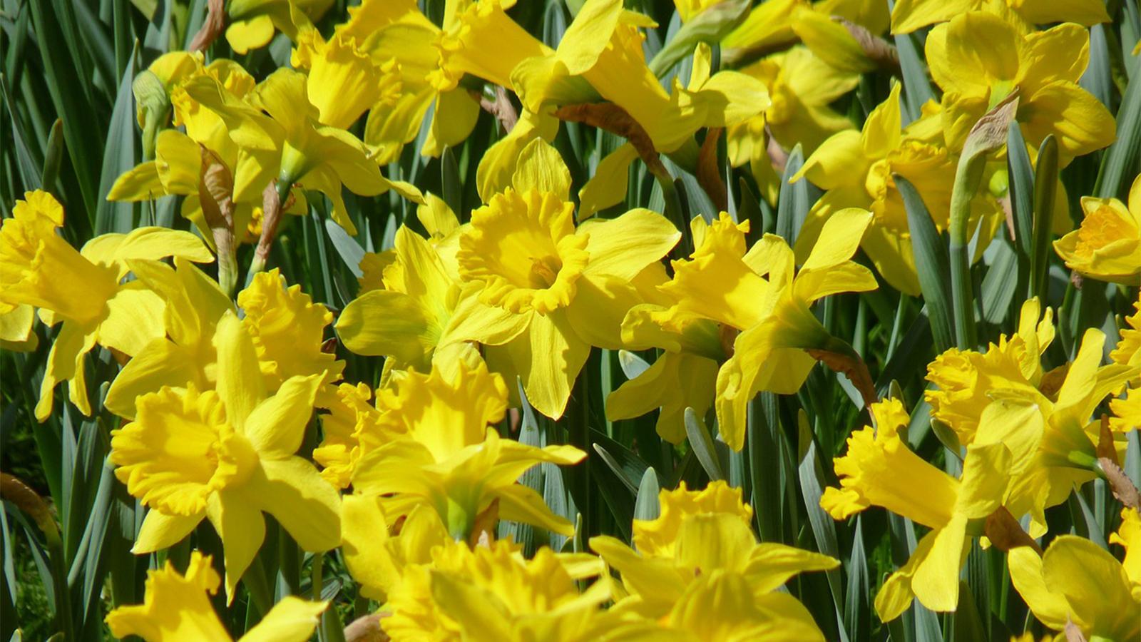 Daffodils-New Baby Flower