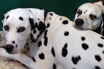 Are Dalmatians good family dogs? | HowStuffWorks