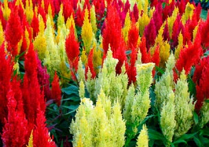 Celosia A Profile Of An Annual Flower Howstuffworks