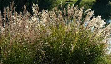 Perennial Grasses And Foliage Howstuffworks