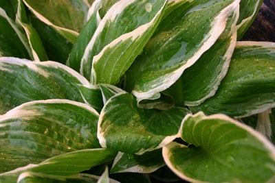 Hosta Plantain Lily Profile Of A Perennial Flower Howstuffworks