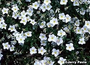 Nierembergia, Cup Flower